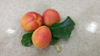 perfect apricots